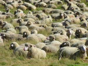 pecore_s