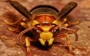 Il-calabrone-asiatico-un-pericolo-per-le-api_articleimage