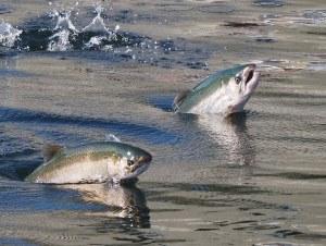 salmone-allevamento-inquinato
