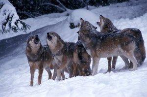 branco-lupi